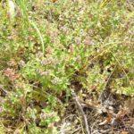MAJČINA DUŠICA - Thymus serpyllum