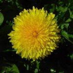 MASLAČAK - Taraxacum officinalis - regmač - regač