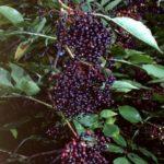 BAZGA - Sambuci nigra - plod bazge