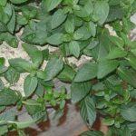 MENTA - Mentha officinalis
