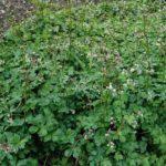 MILOGLED - Saniculae europaea - petoprst