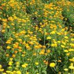 NEVEN - Calendula officinalis