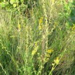 PETROVAC - Agrimoniae - turica - đigeričnjak
