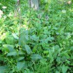 BETONIKA - Betonicae officinalis