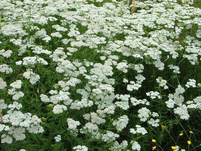 STOLISNIK - Achillae millefolii - jezičec - purja trava, purnjak - kunica - hajdučka trava