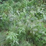 STRUPNIK - Scrophulariae - črnobina