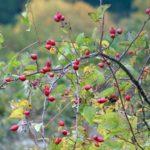 ŠIPAK - Cynosbati fructus - divlja ruža