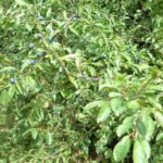 TRNINA - Prunus spinosa