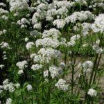 VALERIJANA - Valeriane officinalis - odoljen - macina trava
