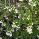 VIDAC - Euphrasiae officinalis - očnica