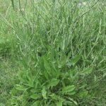 VODOPIJA - Cichorium intybus - cikorija