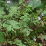 ZDRAVAC - Geranium robertanium - smrdljiva trava - krvomočnica