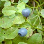 BOROVNICA - Vaccinium myrtillus