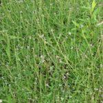 ŽELEZNA TRAVA - Verbena officinalis - verbena trava