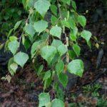 BREZA - Betula pendula