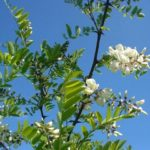 AGACIJA - Robinia pseudoacacia - bagrem - akacija