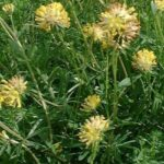 DJETELINKA - Anthyllis vulneraria - ranjak - kamenjarka