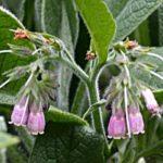 GAVEZ - Symphytum officinalis - crni gavez