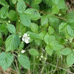 KUPINA - Rubus fructicosus