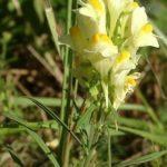 LANILIST - Linaria vulgaris