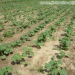 Crni sljez - Sadi se na razmak redova 60-70cm i razmak između biljaka 30-40cm.