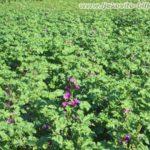 Crni sljez - Početak cvatnje