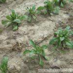 Uzgoj Nevena - Neven se sadi na razmak redova od 60-70cm i razmak između pojedinih biljaka 30-40cm.