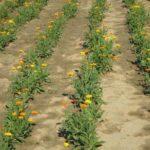 Uzgoj Nevena - Početak cvatnje