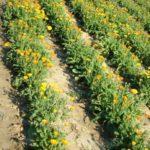 Uzgoj Nevena - Ukoliko se neven i ostalo ljekovito bilje uzgaja između ostalih poljoprivrednih kultura, susjedne parcele ne smiju se tretirati nikakvim kemijskim sredstvima.
