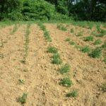 Stolisnik - Ovdje se uz stolisnik vide i dva reda valerijane koja se isto može uzgajati