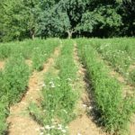 Stolisnik - Achillae millefolli ( jezičec, purja trava, purnjak, kunica, hajdučka trava )